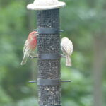 House Finches on feeder
