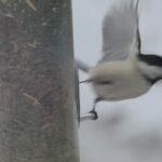 chickadee flies from hanging feeder