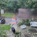 Bear in Suburban yard
