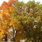 Oak trees turning russet