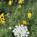 Coneflower and Queen Anne's Lace