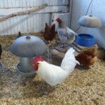 Chicken on Flock Block