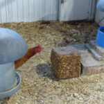 Hen Looks at FlockBlock
