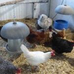 Chickens enjoy the Flock Block