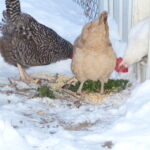 Three chickens eating scraps