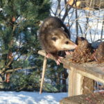 Opossum eating