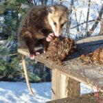 Possum eating