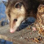 Possum eating birdseed.