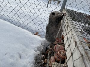 Possum climbing