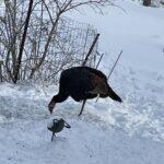 Turkey standing on one leg