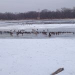 Ducks and geese on Mississippi River