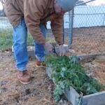 Man picking kale