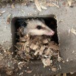 Opossum in cinder block
