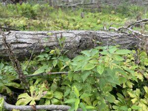 Berry canes among fallen logs