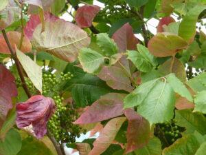 poison ivy berries