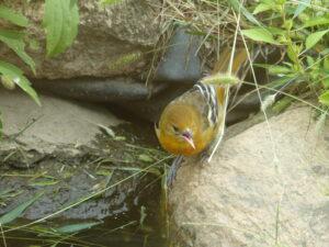 Female oriole by water.