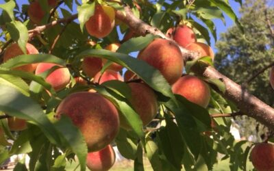 How Do Deer Know When Peaches Are Ripe?