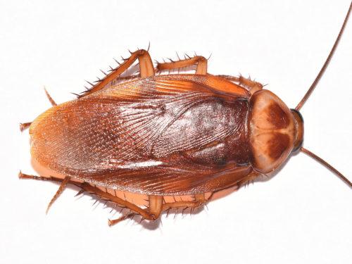 american-cockroach-dorsal