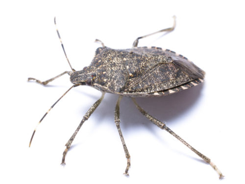 brown-marmorated-stink-bug-from-side-white