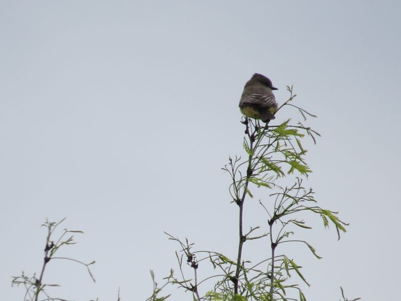 Female Vermilion Flycatcher
