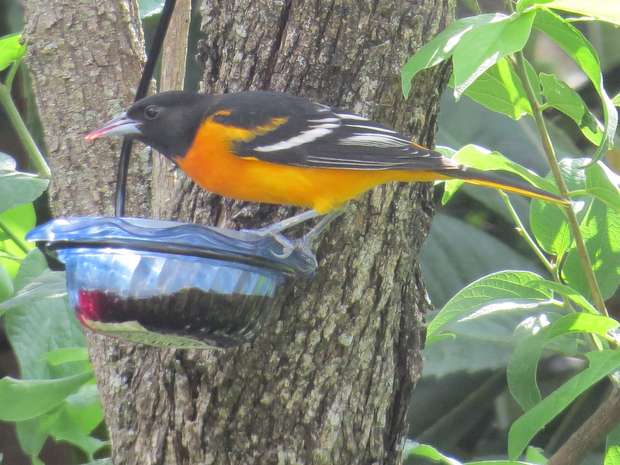 Baltimore Oriole eating grape jelly