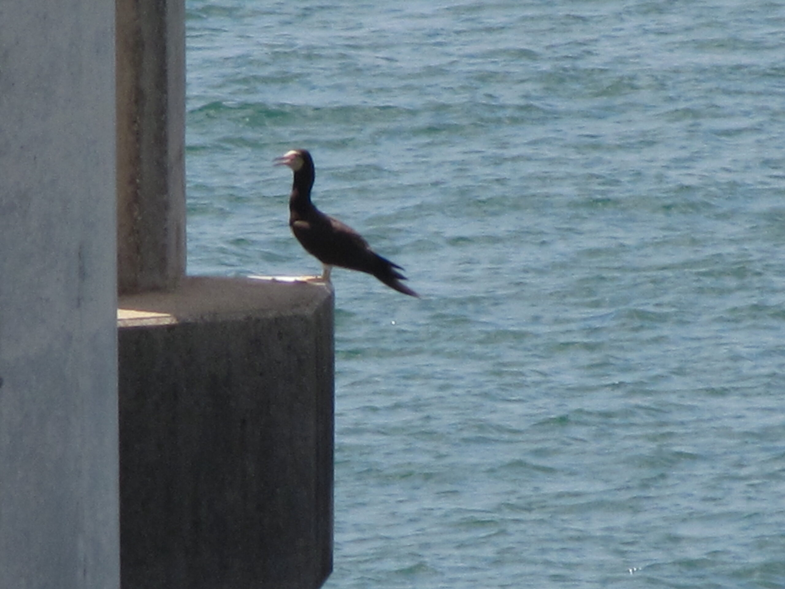 Brown Booby, 9/1/2012