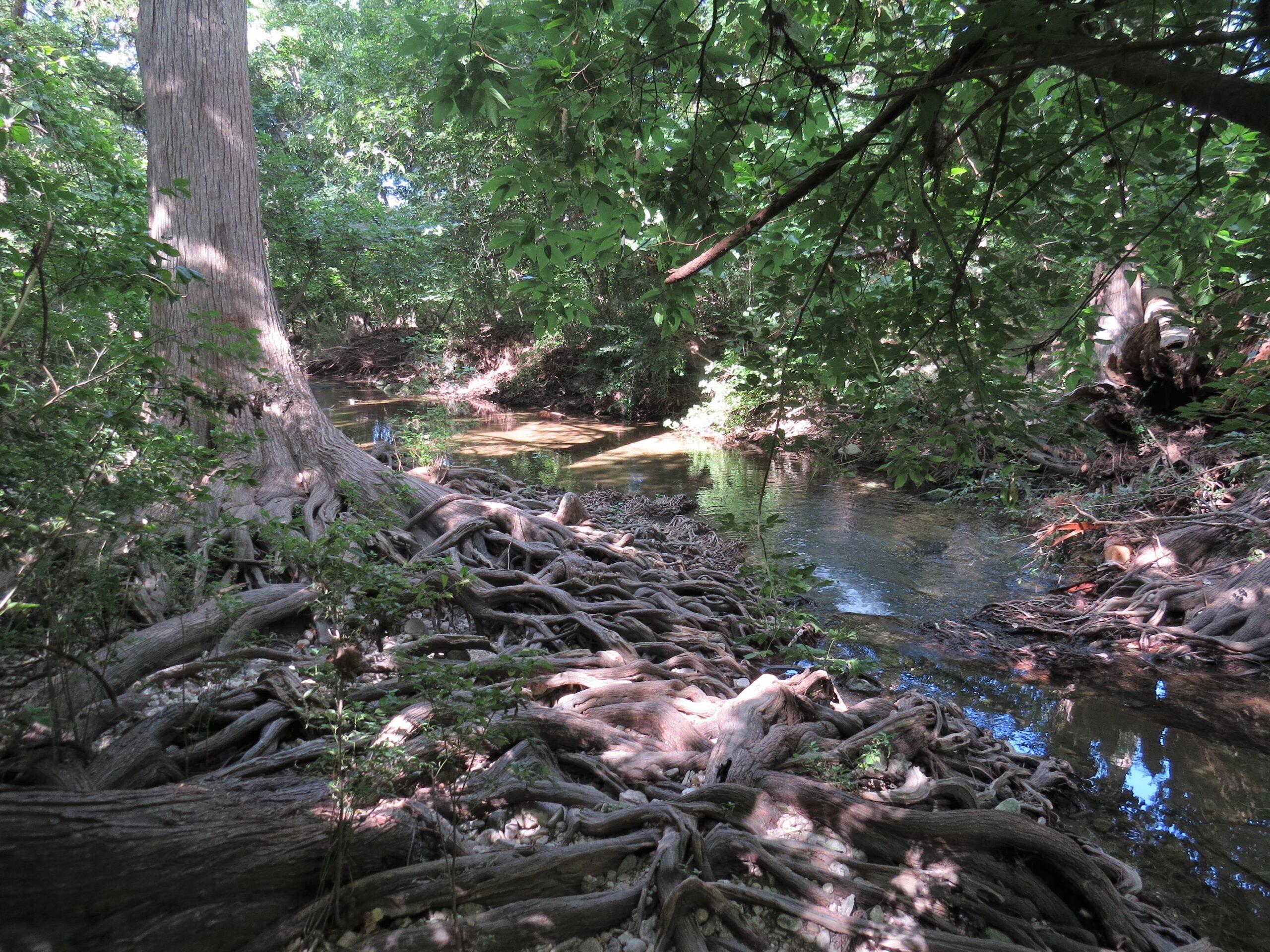 Cypress Tree Roots