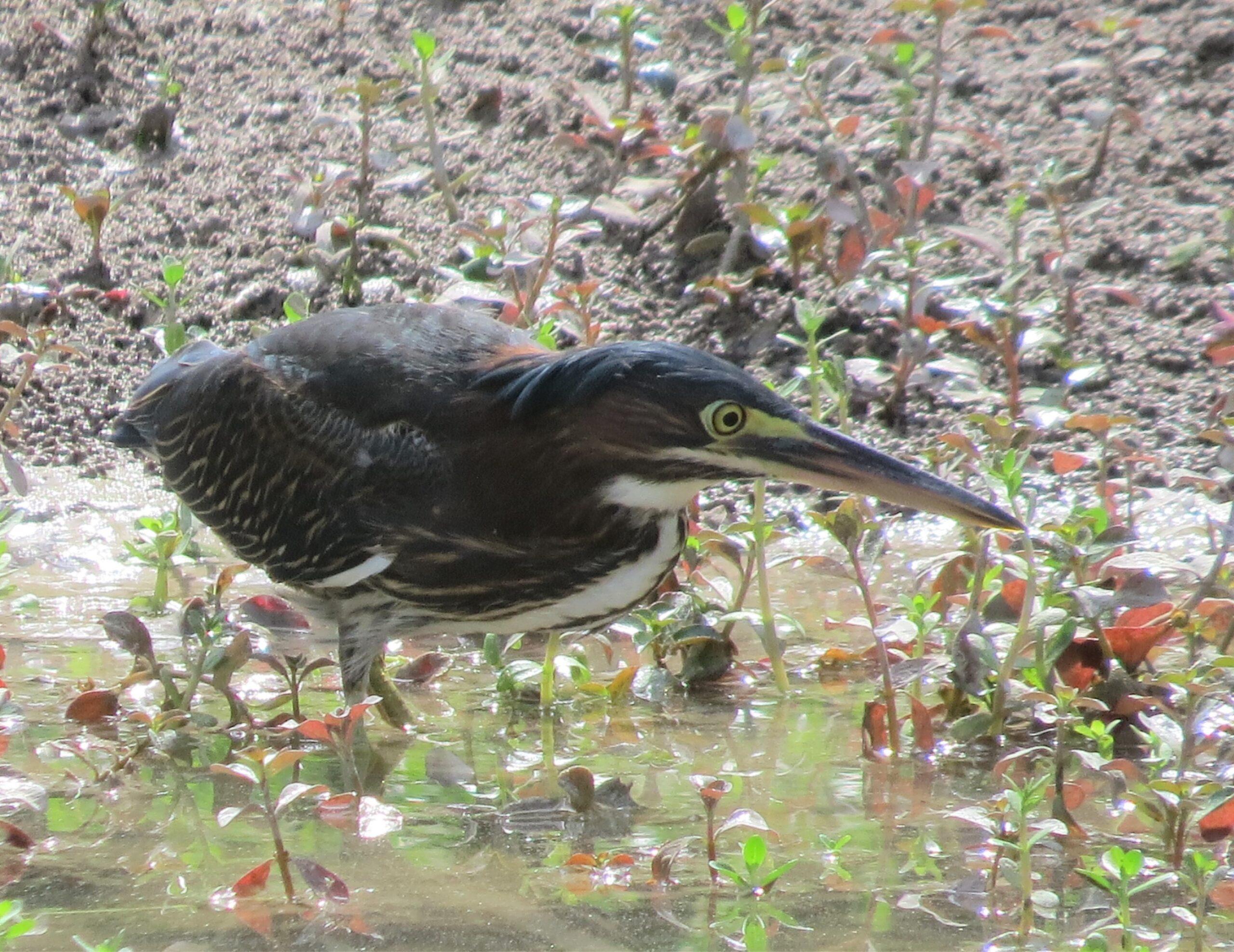 Green Heron at Wrede Marsh