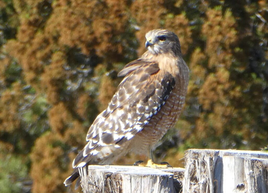 Red-shouldered Hawk by Patsy Kuentz