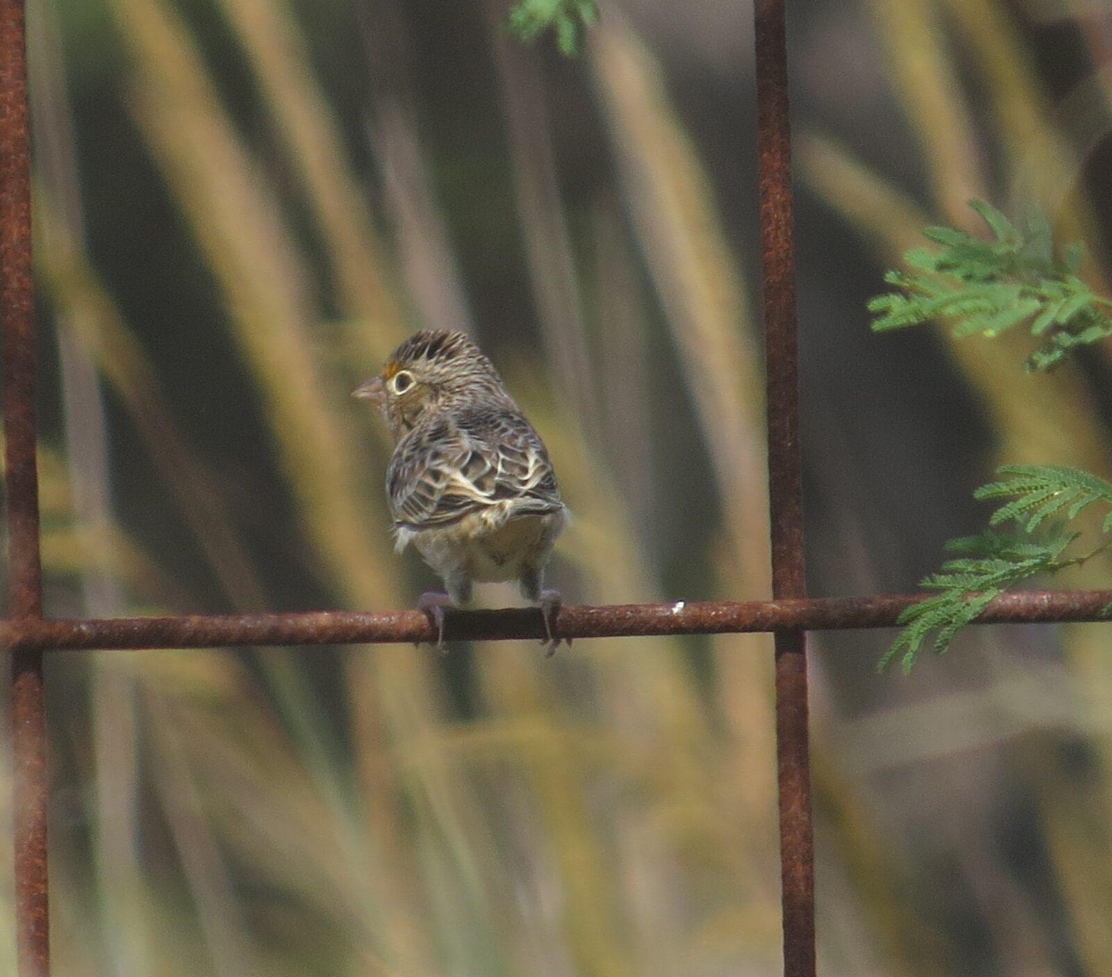 Grasshopper Sparrow, Hardberger Park