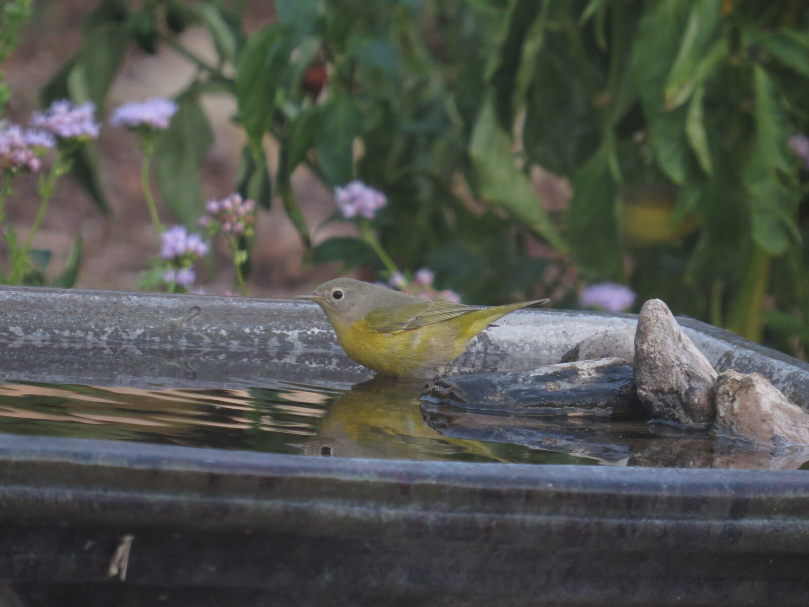 Nashville Warbler, Backyard Birdbath