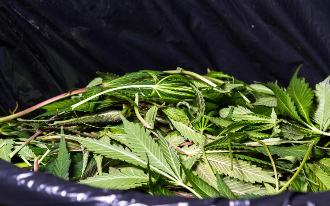 Pile of marijuana leaves