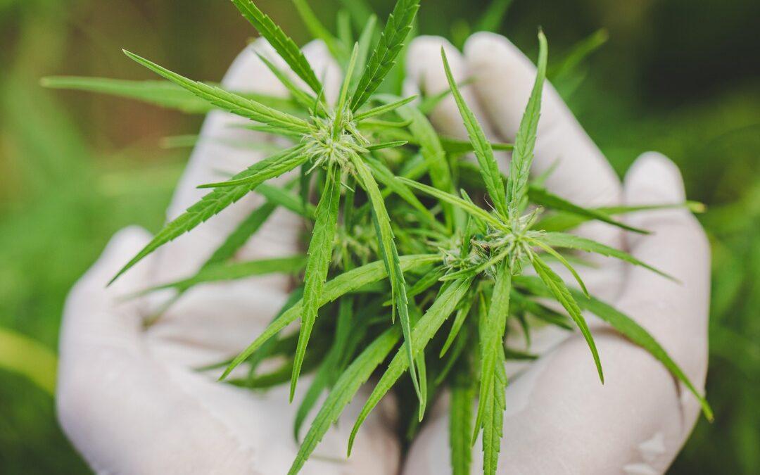 Open hands holding top part of marijuana plant
