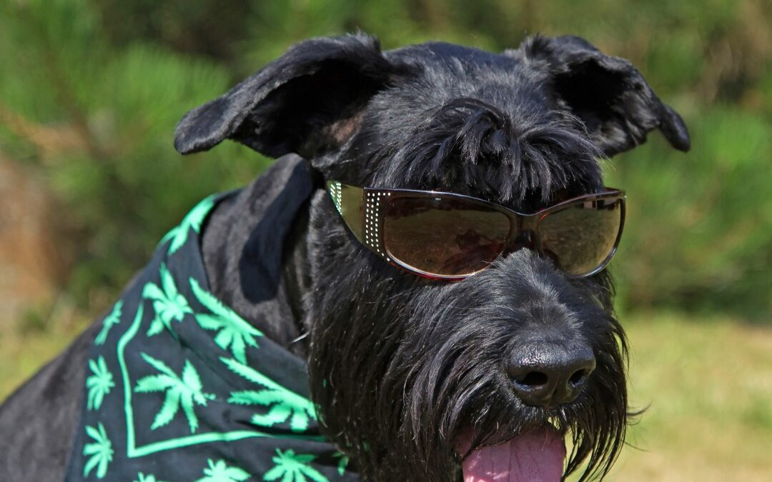 Bill Introduced To Allow Veterinarians To Recommend Medical Marijuana For Pets
