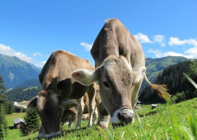 Identification of Cattle at Risk of High Altitude Pulmonary Hypertension