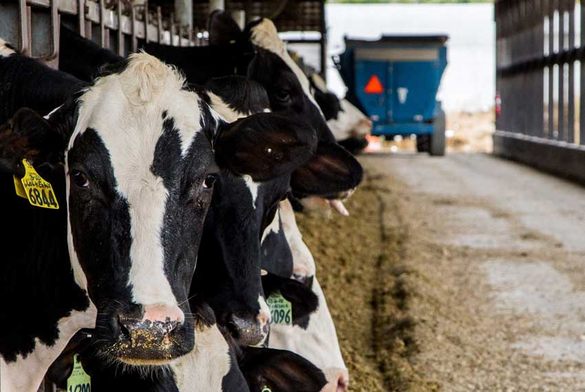 country dairy cows in new era michigan