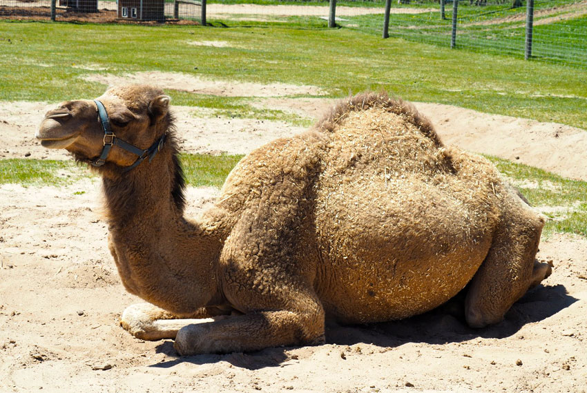 camel on the ground at lewis farms in new era michigan