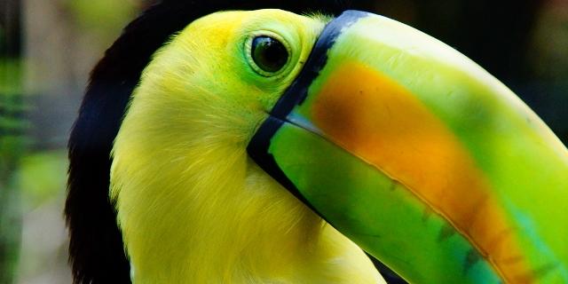 Belize_Birding_Tropical_Tucan_01-big (640x320)