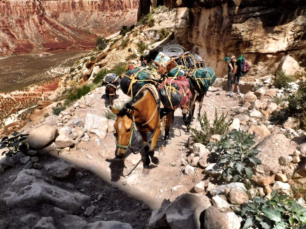 Horses carrying bags on their backs in The Grand Canyon, Arizona