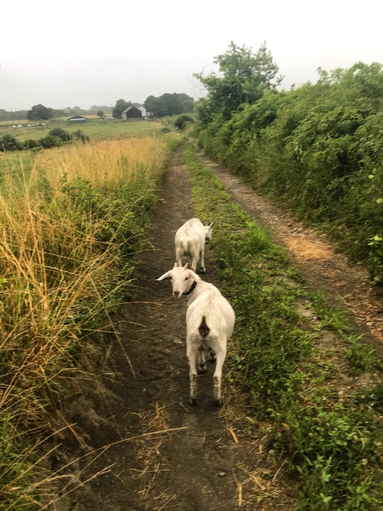 Running down a farm hill with goats during goat yoga