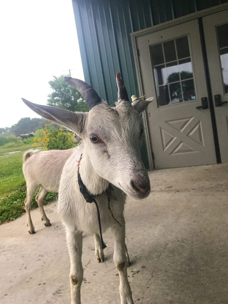 A white goat staring at the camera
