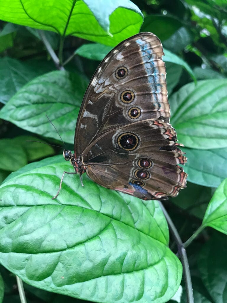 brown and blue butterfly on leaf, Sioux Falls, SD