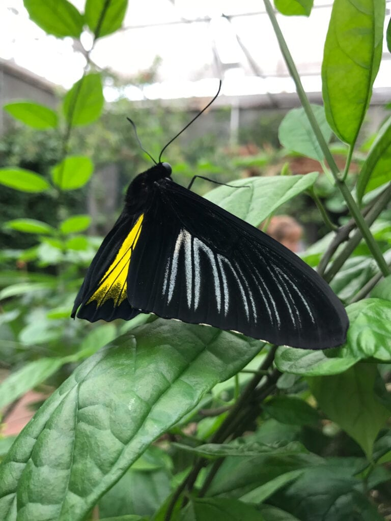black and yellow butterfly, Sioux Falls, SD