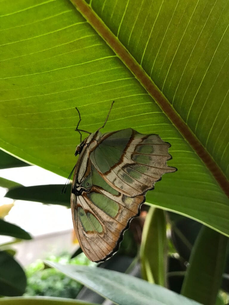 green and tan butterfly on leaf upside down, Sioux Falls, SD