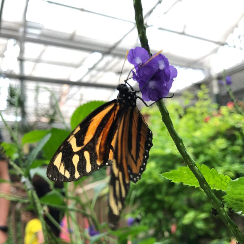 monarch butterfly on a purple flower, Sioux Falls, SD