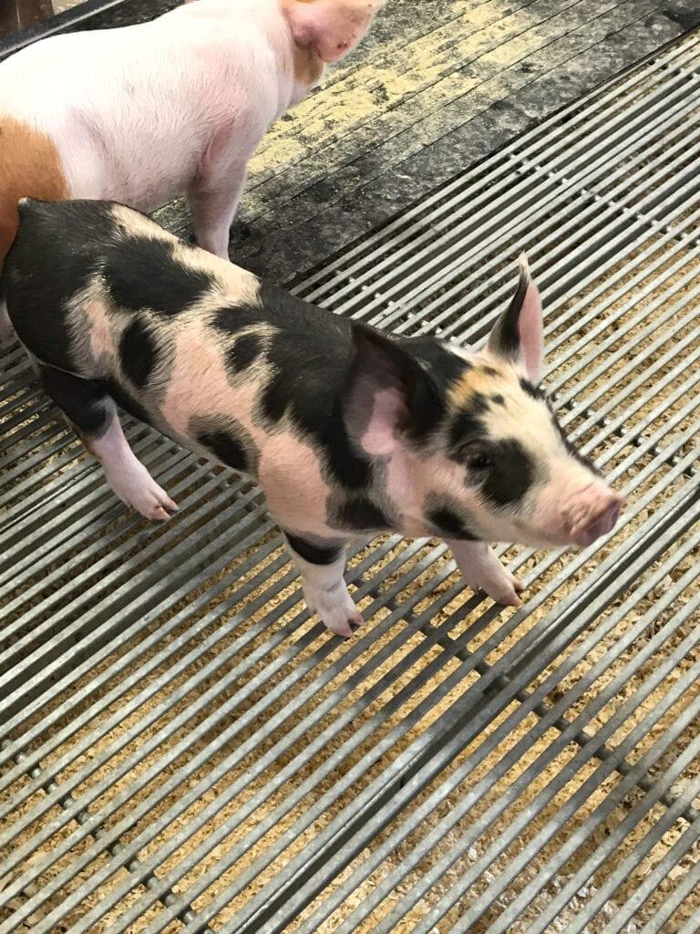 baby pig at Sioux Falls Empire Fair