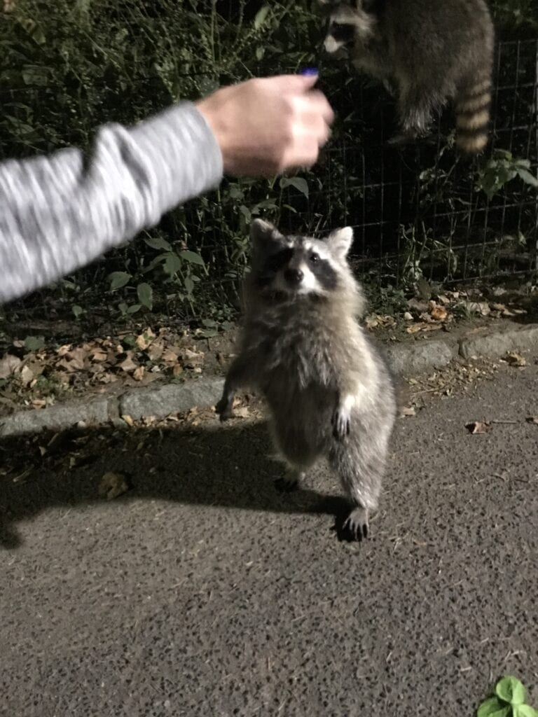 girl putting hand out to raccoon, New York