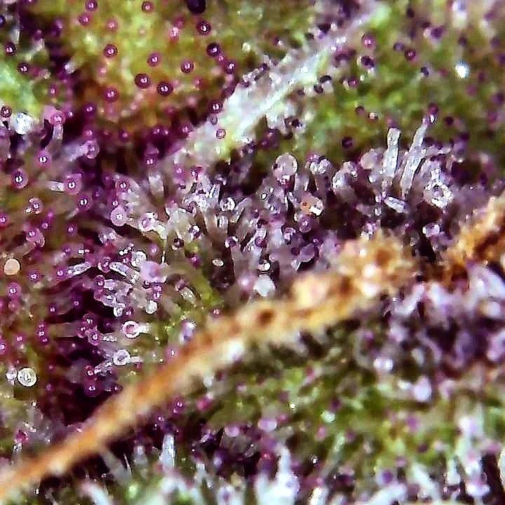 On this pic, we see purple-tinted trichomes, small hairs with bulbous tips on a cannabis plant