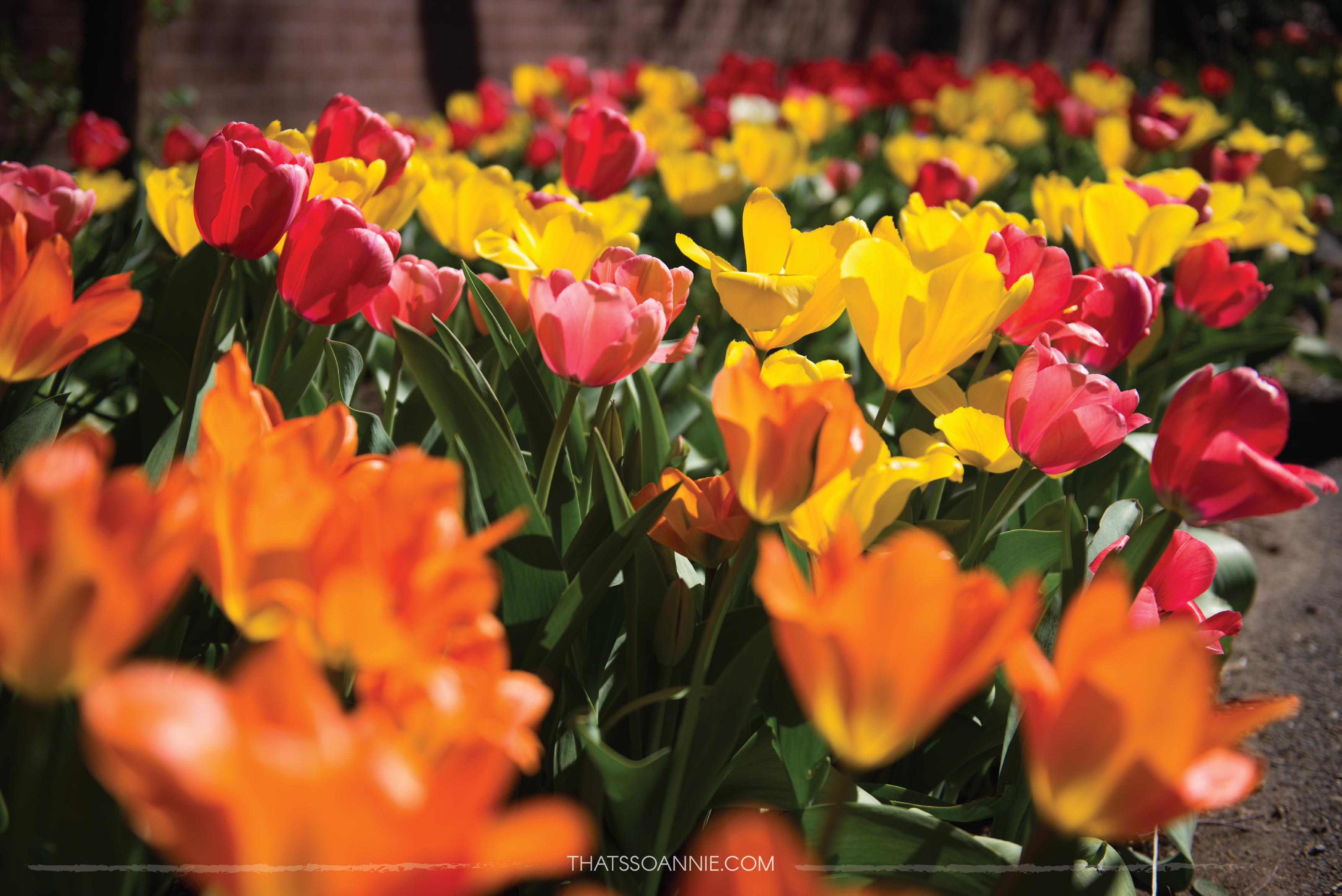 NYC Tulip Festival @ West Side Community Garden