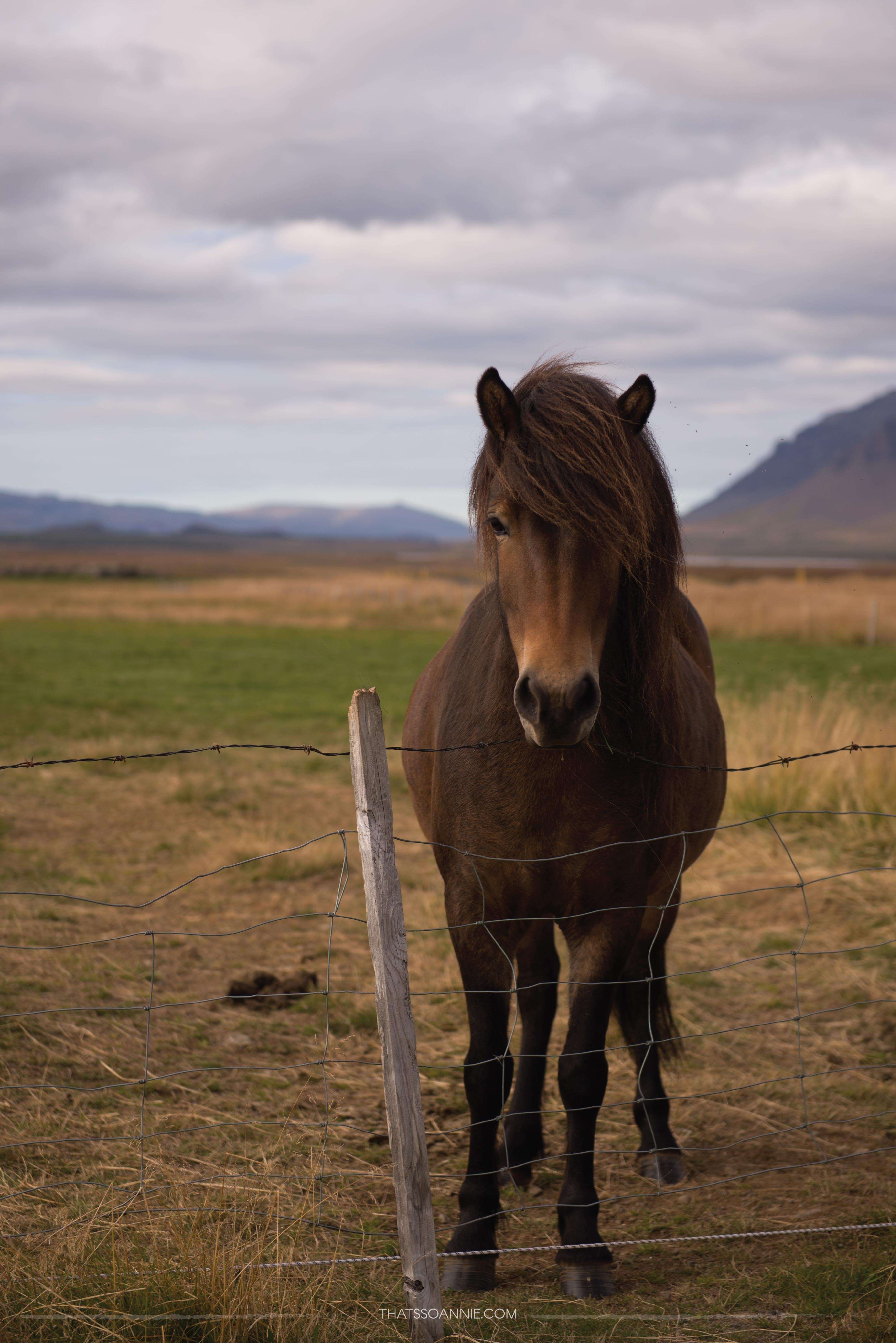 My first Icelandic horse! Exploring the Snæfellsnes Peninsula, Iceland | www.thatssoannie.com